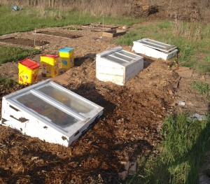 Coldframes in situ.